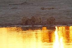 Гордость Африки царственный лев Стоковые Фото