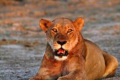Гордость Африки царственный лев Стоковое Изображение RF