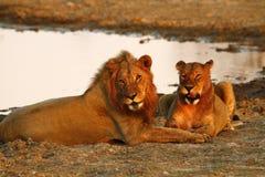 Гордость Африки царственный лев Стоковое Изображение