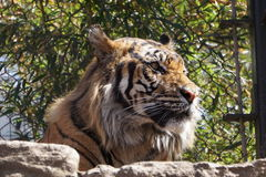 Гордость тигров Стоковое фото RF