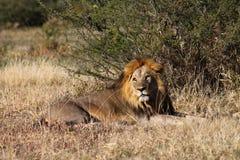 Гордость льва Стоковые Изображения