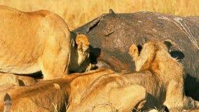 Гордость львов есть молить в Masai Mara видеоматериал
