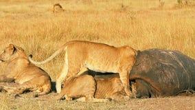 Гордость львов есть молить в Masai Mara сток-видео