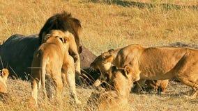 Гордость львов есть молить в Masai Mara акции видеоматериалы