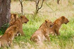 Гордость львов стоковое изображение rf