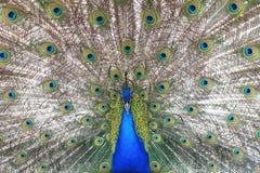 Гордый голубой павлин показывая красивые пер Стоковое фото RF