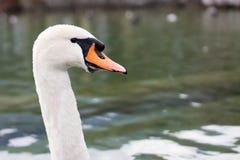 Гордый лебедь Стоковые Фотографии RF