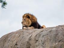 Гордый лев на утесе Стоковые Изображения RF