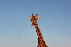 Гордый жираф на зоопарке Стоковые Изображения