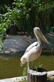 Гордый мужской пеликан Стоковые Изображения RF