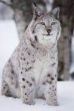 Гордый рысь сидя в снеге Стоковое Изображение