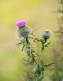 Гордый Thistle с фиолетовой головой цветка Стоковое Изображение