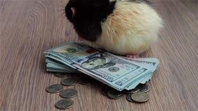 Господин Крыса подсчитывая наличные деньги Черно-белая смешная крыса сидит на монетках и банкнотах, и моет ее рыльце сток-видео