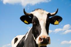 голландец коровы Стоковое Фото