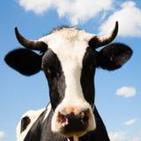 голландец коровы Стоковое Изображение RF