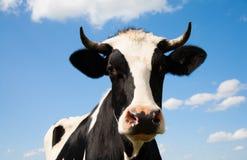 голландец коровы Стоковая Фотография