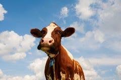 голландец коровы Стоковые Изображения
