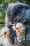 Голландия сокращает кролика стоковые фотографии rf