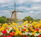 Голландская ветрянка над полем тюльпанов Стоковое Изображение