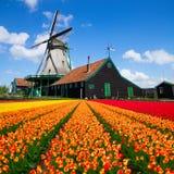 Голландская ветрянка над полем тюльпанов Стоковая Фотография