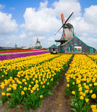 Голландская ветрянка над полем тюльпанов Стоковые Изображения RF