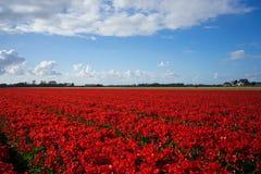 Голландские красные поля цветка 1 Стоковые Фото