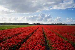Голландские красные поля цветка 2 Стоковое Изображение RF