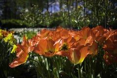 Голландские красные цветки Стоковые Изображения