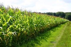 Голландские кукурузные поля Стоковое Фото