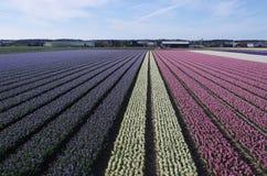 Голландские поля цветка весной Стоковое Изображение RF