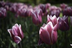 голландские розовые тюльпаны Стоковые Фото