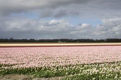 голландские розовые тюльпаны Стоковое Изображение