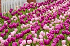 Голландские тюльпаны с частоколом. стоковые фото