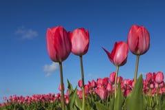 Голландские тюльпаны Стоковая Фотография