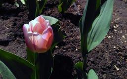 Голландский вызванный тюльпан сверкная флагом Стоковые Фото
