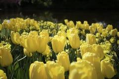 голландский желтый цвет тюльпанов Стоковое Изображение RF