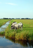 Голландский плоский ландшафт с коровами и полями травы Стоковые Изображения RF