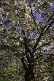 Голландское дерево цветения Стоковое Изображение RF