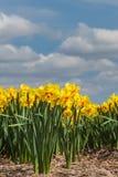 Голландское поле фермы с желтым narcissus Стоковые Изображения