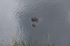 Голова американского аллигатора в воде Стоковые Изображения RF