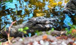 Голова американского аллигатора в воде Стоковые Фото