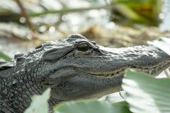 Голова американского аллигатора Стоковое фото RF