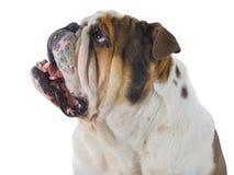 Голова английской собаки бульдога смотря вверх Стоковые Фотографии RF