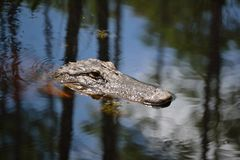 Голова аллигатора в Болото-конце up-1 Стоковое Изображение