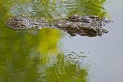 Голова аллигатора Стоковая Фотография