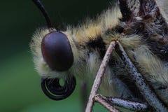 Голова бабочки - swallowtail Старого Мира Стоковая Фотография RF