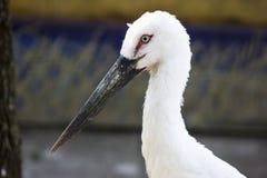 Голова белого аиста Длинный клюв птицы Стоковое Изображение
