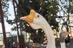 Голова белой китайской гусыни Стоковое Изображение