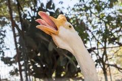 Голова белой китайской гусыни Стоковая Фотография