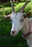 Голова белой козы с рожками Стоковые Изображения